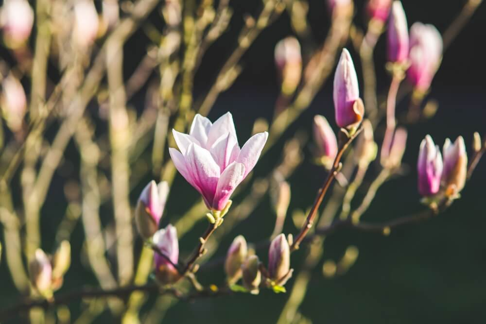 Late Blooming Shrubs