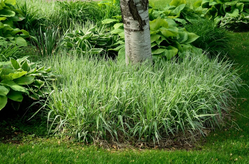 The best ornamental grasses for your yard for Short variegated grass