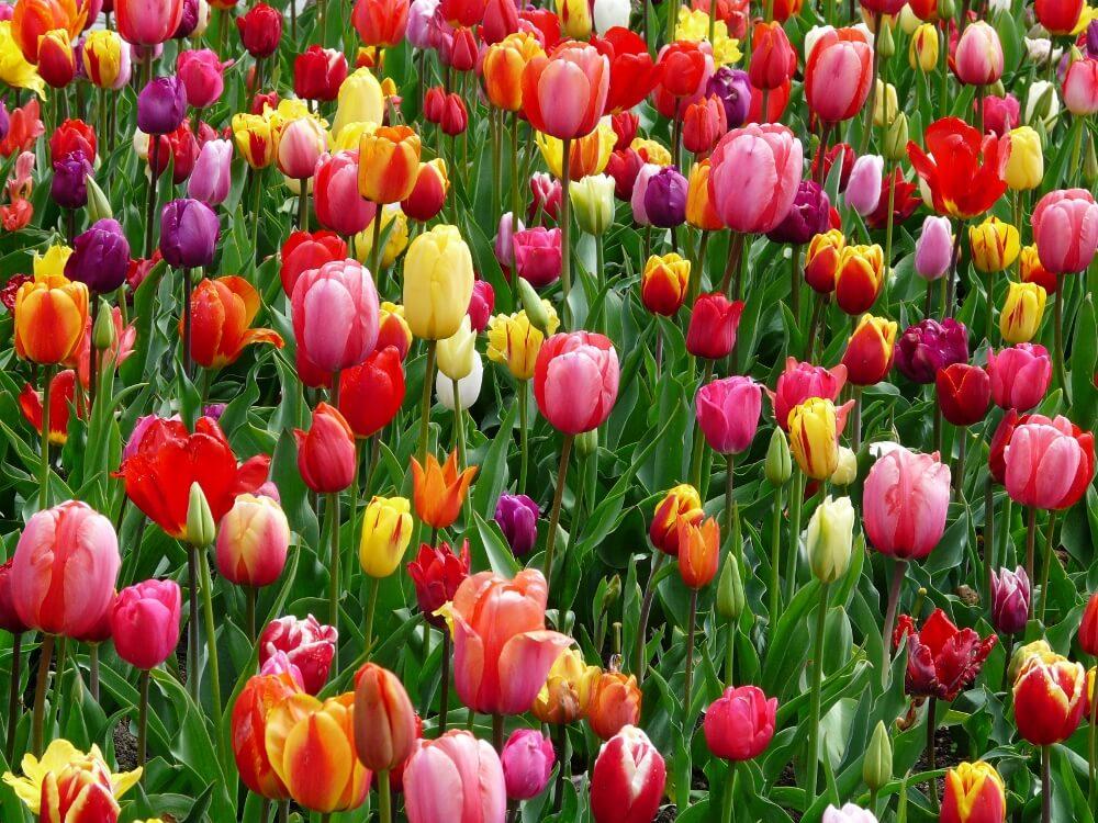 Spring Bulb Tulips