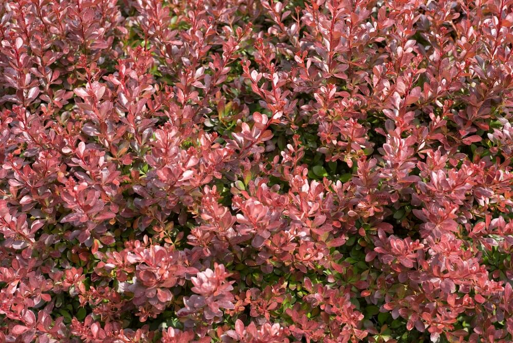 Low maintenance shrubs for landscaping low maintenance for Low maintenance bushes and shrubs