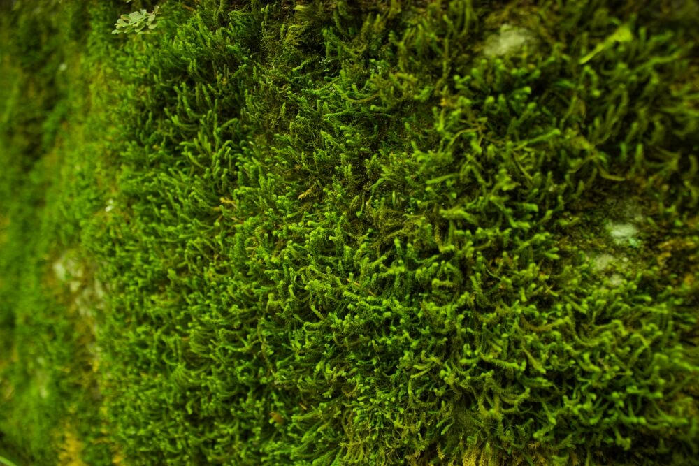 Moss For Green Roof